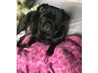 Black male pug 6 months