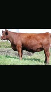 25 bred red Angus cows for sale.