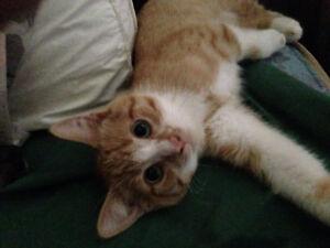 Beautiful Orange Tabby Striped Kitten male