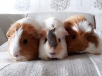 Guinea pigs with cage and accessories