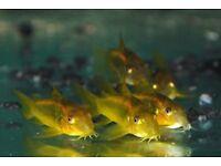 Corydoras Peru Gold Stripe (Gold Laser) Cory tropical fish