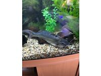 Large silver catfish for sale