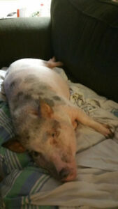 Micro Pot Belly Pig needs rehoming