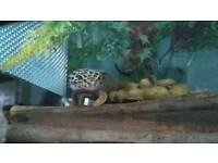 Gecko + tank