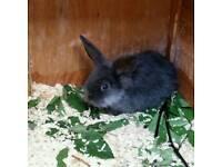 Male Baby rabbits lionhead minnie lop