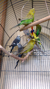 Budgie pairs for sale