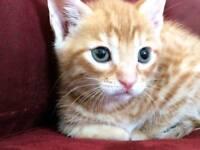 Beautiful ginger tabby kitten