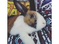 2 year old neutered male rabbit free to a good home
