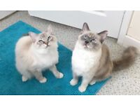 The perfect home is wanted for our 2 Ragdoll girls !