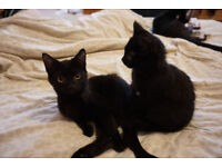 14 WEEK OLD KITTENS FOR SALE 1 BOY AND 1 GIRL MUST GO AS A PAIR