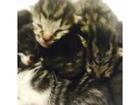 NEWBORN kittens (RESERVE) good homes only