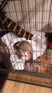 Ferret to Rehome
