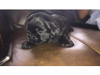 pug x shihtzu puppies for sale