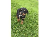 Bernese Rottie Pups / Bernweiler (Rottweiler x Bernese Mountain Dog) Puppies for Sale
