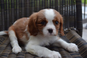 Cavalier King Charles Spaniel Puppies For Sale!