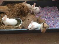 Baby bunny 8 weeks 1 left