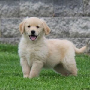 Looking for a Golden Retriever to add to our family!