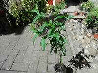 Planst for sale-two penstemon plants
