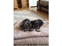 minature schnauzer puppies