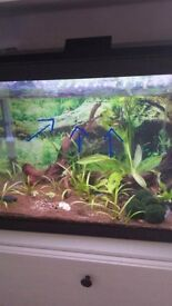 Platy fishs for Sale