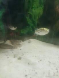 Brackish Fish