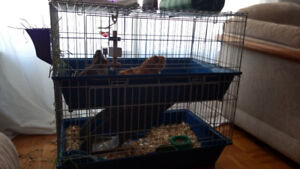 2 Female Guinea Pigs, two level Cage and Accessories