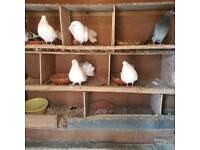 Indian fantail pigeon for sale birmimgham park £35