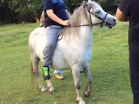RANDALLS ROSIE . WELSH SECTION A RIDING PONY .
