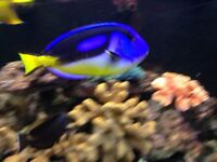 7inch yellow bellied regal tang