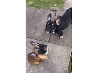 KC registered french bulldog 4 month old puppies