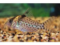 Corydoras Agassizi Tropical fish Cory