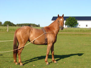 Lovely quarter horse cross mare