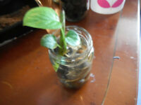 Houseplant-Pothos(Devil's Ivy) in water