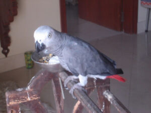 African Grey Parrot Ready Now To Go