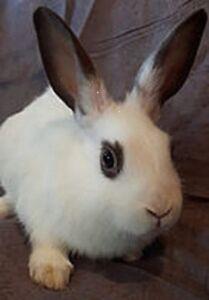 Bunnies for Adoption - 10,000 Carrots Rabbit Rescue - Millie