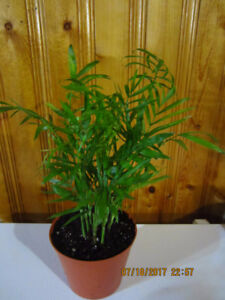 Chinese Fan Palm Tree (Tropical) - Air Purifier Plant