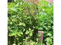 FREE ORGANIC TOMATO PLANT (flowering )