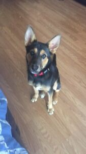 Female german shepherd mix to be rehomed