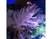 Marine coral frag