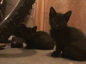 3 all black FEMALE kittens free to good homes