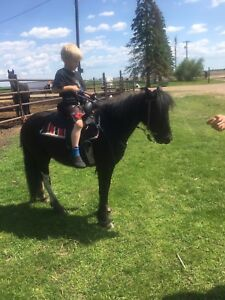 2 year old gypsy Vanner cross pony mare