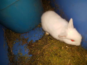 Netherlind Dwarf boy bunny Rabbit
