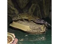 8 month old leopard gecko