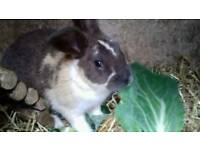 Giant Continental cross Lop Rabbits - need good homes ASAP