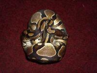 Normal Male Royal Python