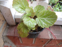 Plants for sale-Strawberry Begonia plants in a 10 cm pot