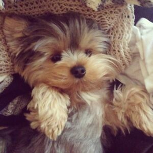House Trained Neutered Male Teacup Yorkie Cat friendly