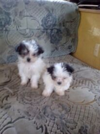 Malchi pups for sale