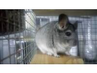 Baby female gray chinchilla