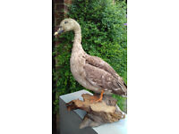 Taxidermy duck. On presentation plinth. Excellent condition. Price Reduced